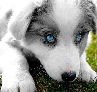 Aww Blue Eye Puppy Puppies With Blue Eyes Dogs And Puppies