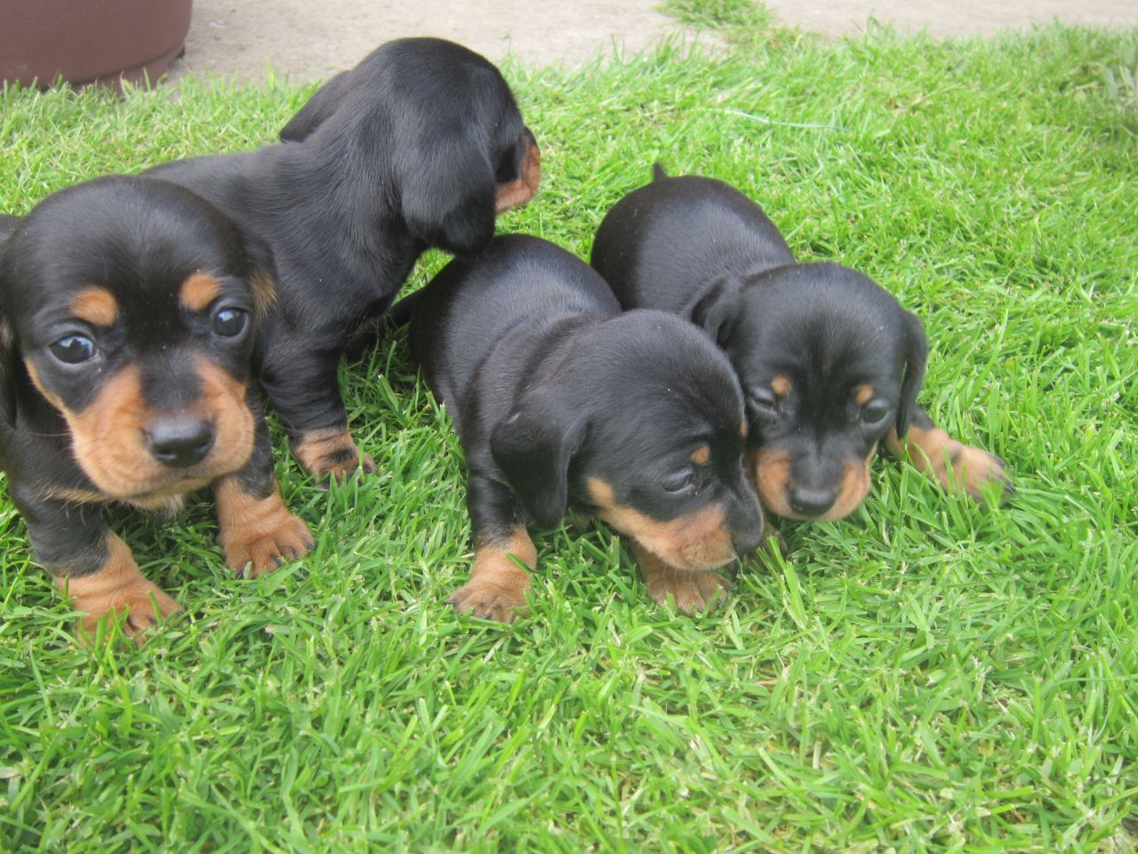 Puppies!!! Baby puppies, Dachshund puppies, Cute puppies