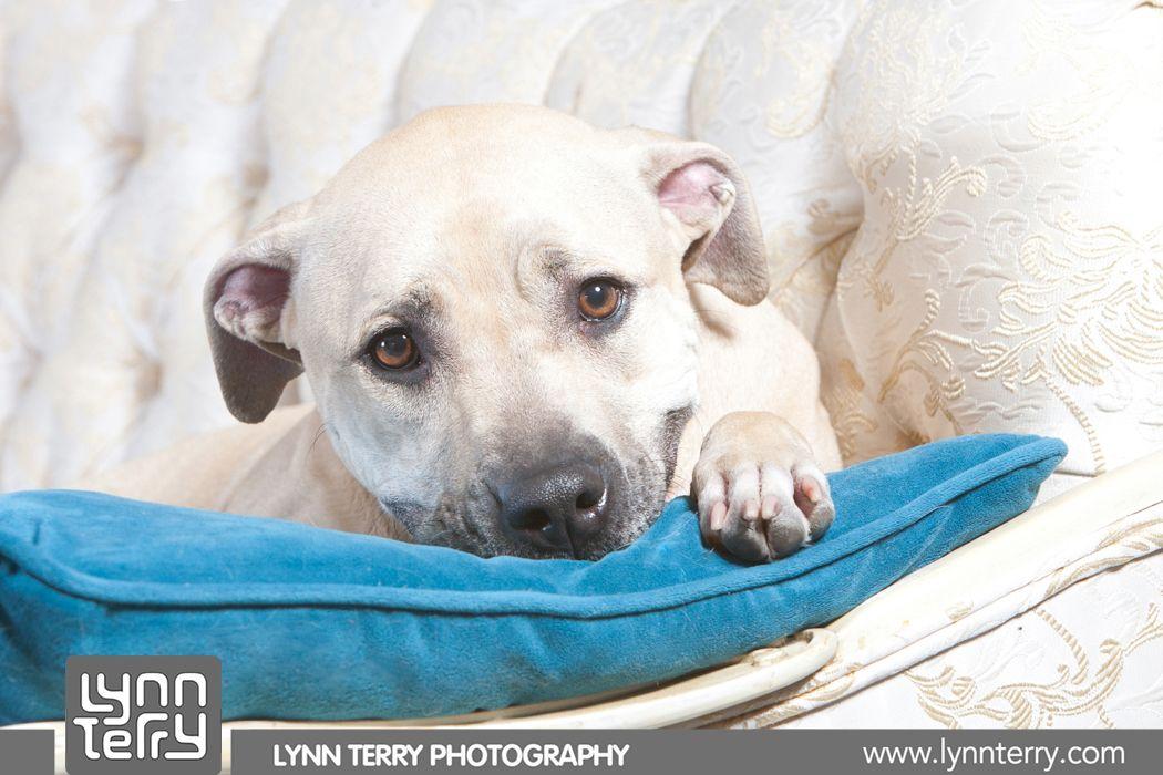Pitbull puppy rescue california