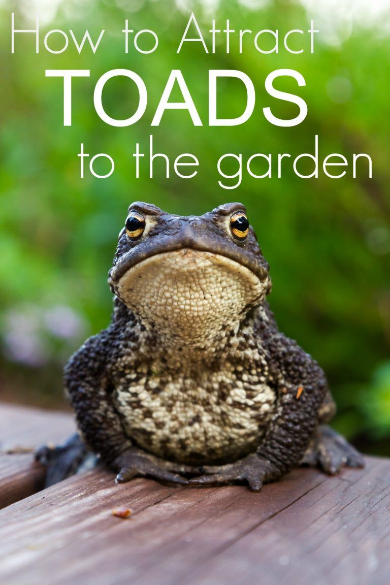 How to attract toads to the garden and why you want them