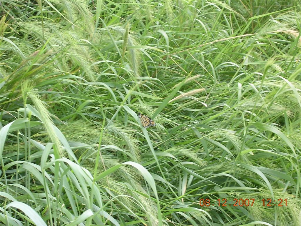 elymus virginicus Google Search Grass seed, Warm