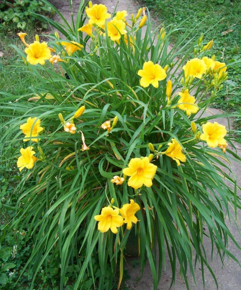 yellow lily flower plant
