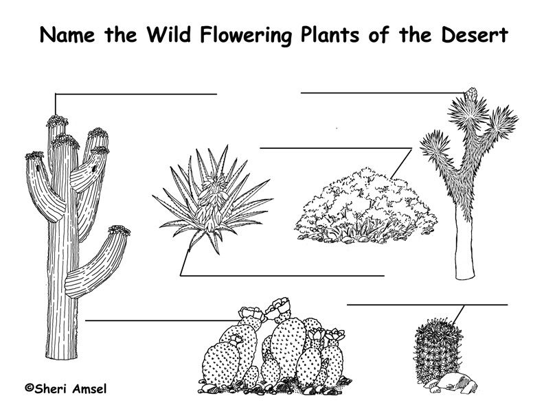 Desert Wildflowers (Cactus) Labeling Page