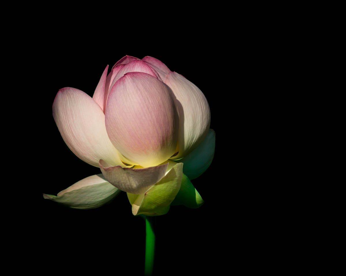 Portrait Of A Lotus Flower By Jerri Moon Cantone On 500px Buddhism