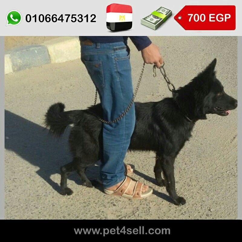 مصر العاشر من رمضان كلب بلاك كوت ذكر سنة و شهر Pet4sell Animals Dogs