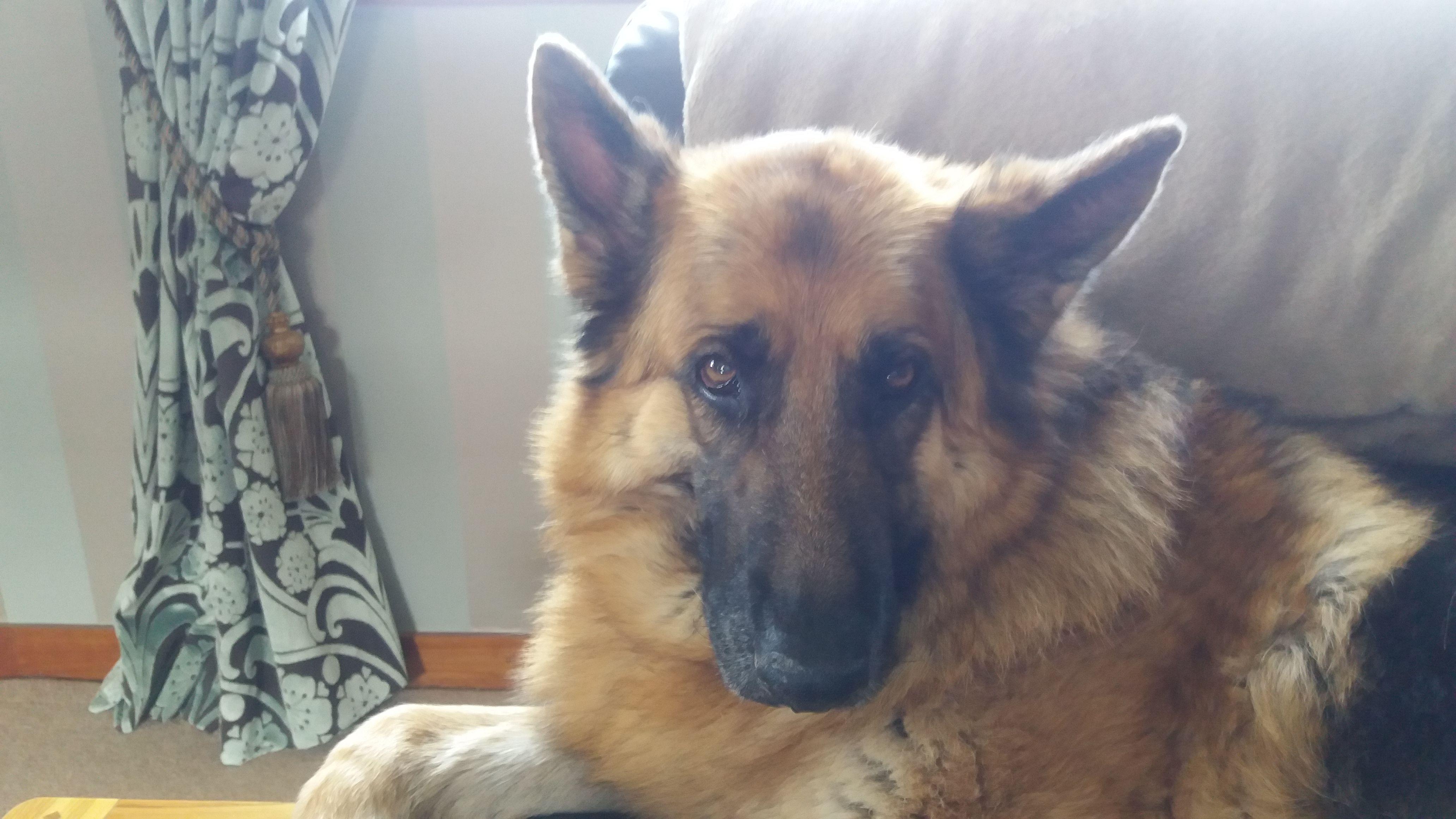 Oscar Dog Gsd Germanshepherd Ilovedogs I Love Dogs