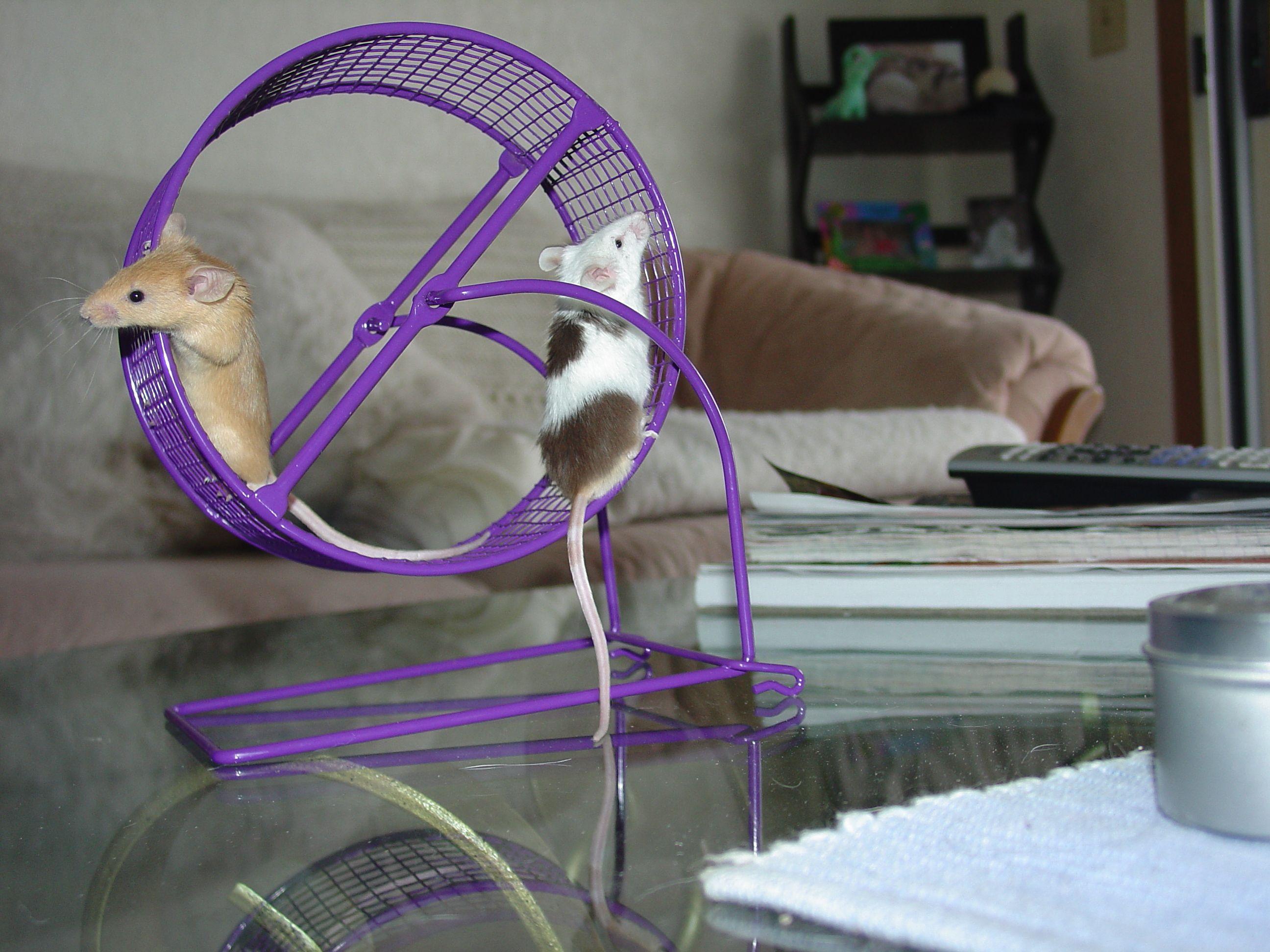 best 25 pet mice ideas on pinterest diy degu toys diy
