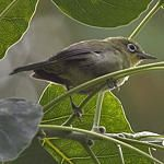 Pale-bellied White-eye(Zosterops consobrinorum) (c) Andy and Gill Swash