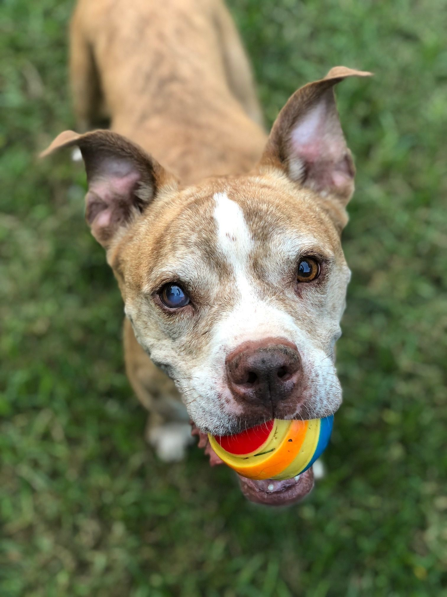 Adopt Frank Gallagher On Pitbull Terrier American Pitbull Terrier Bull Terrier Dog