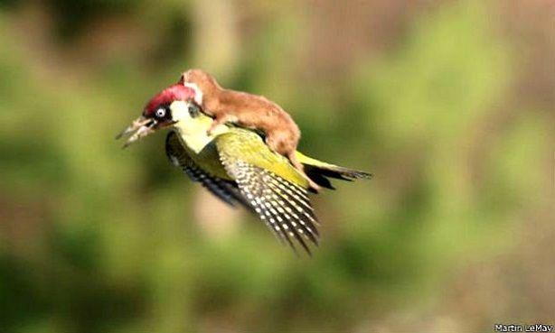 """Furão """"pega carona"""" nas costas de um pica-pau em Londres Acredita-se que o furão tenha atacado a ave que, no susto, levantou vooFoto: Martin Le-May A natur"""