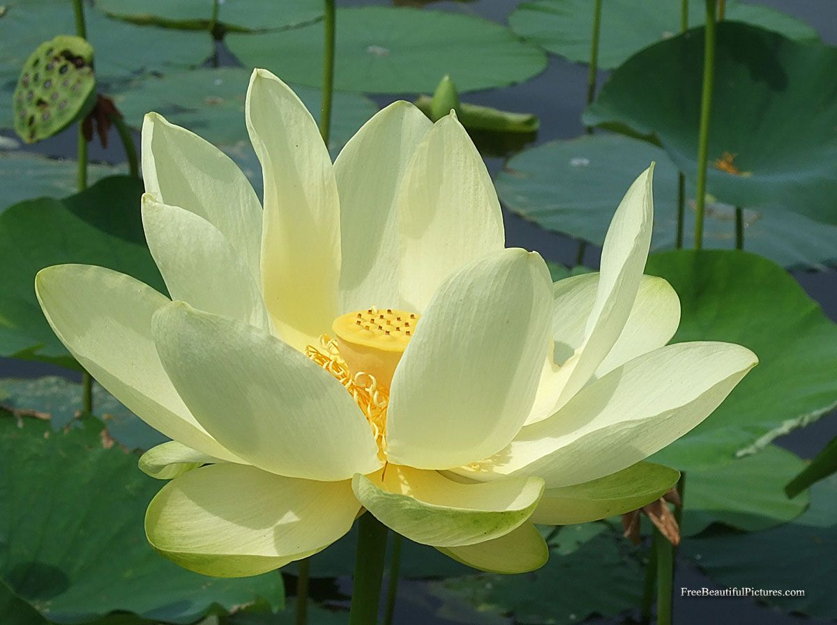 Lotus Flower Lotus Flower Facts Lotus White Lotus Flower