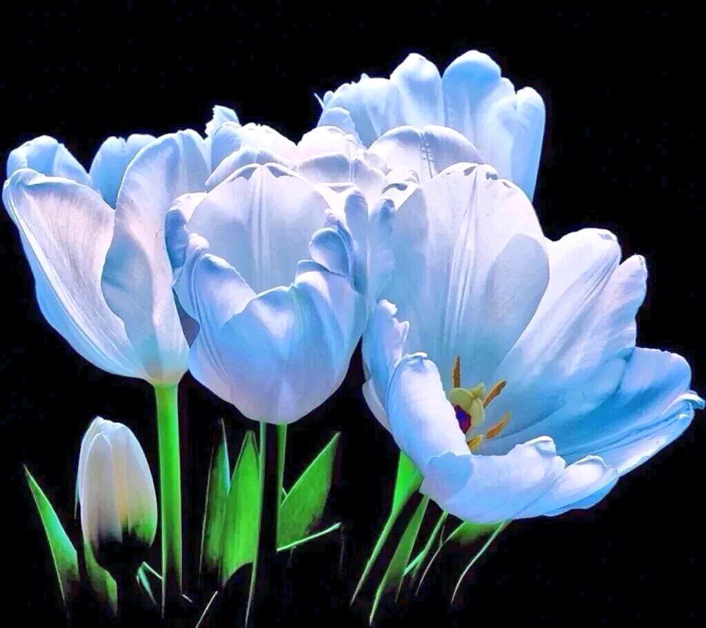 картинки голубые тюльпан изящные, красивые