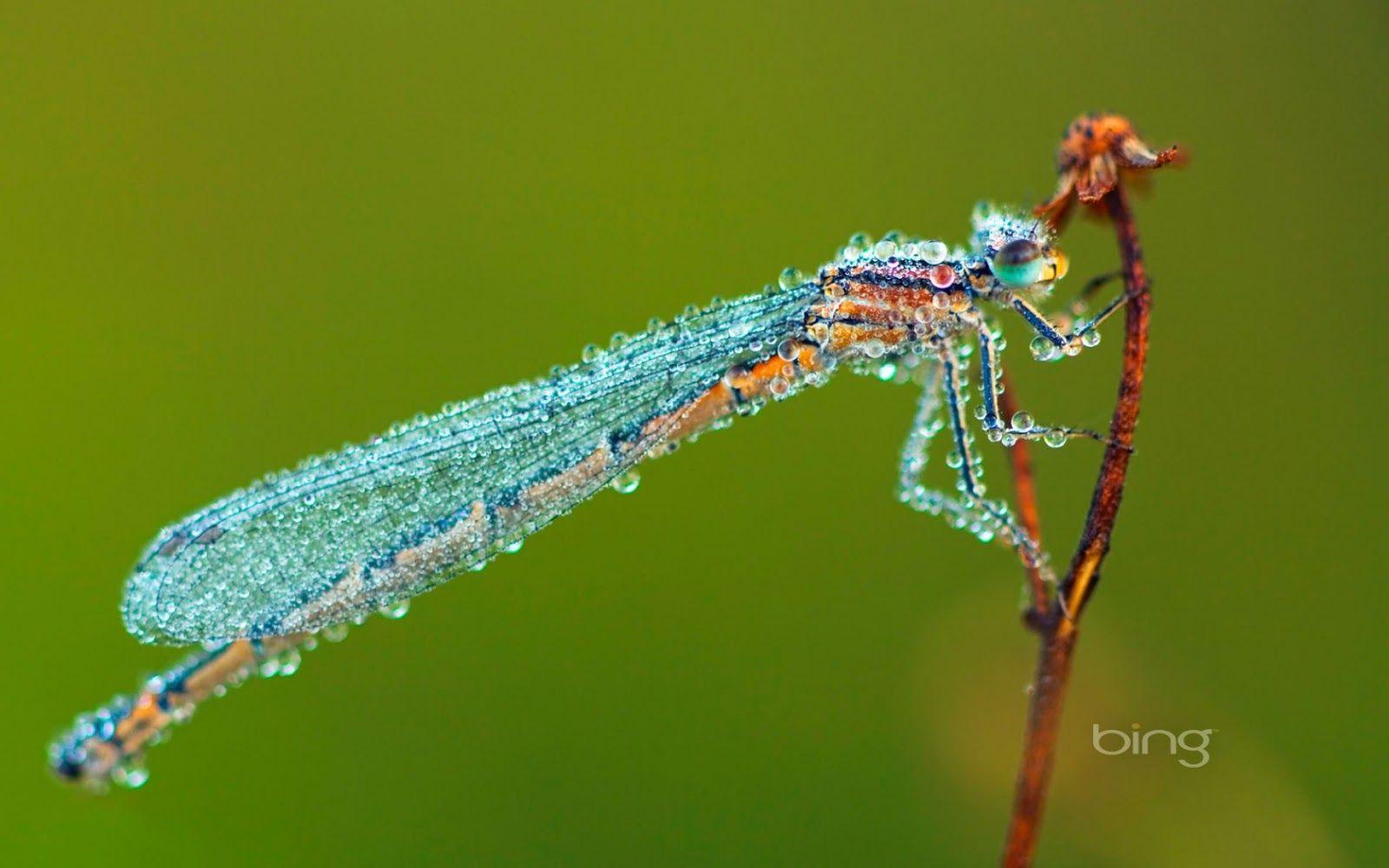 blue dragonfly macro hd desktop wallpaper : high definition 1600