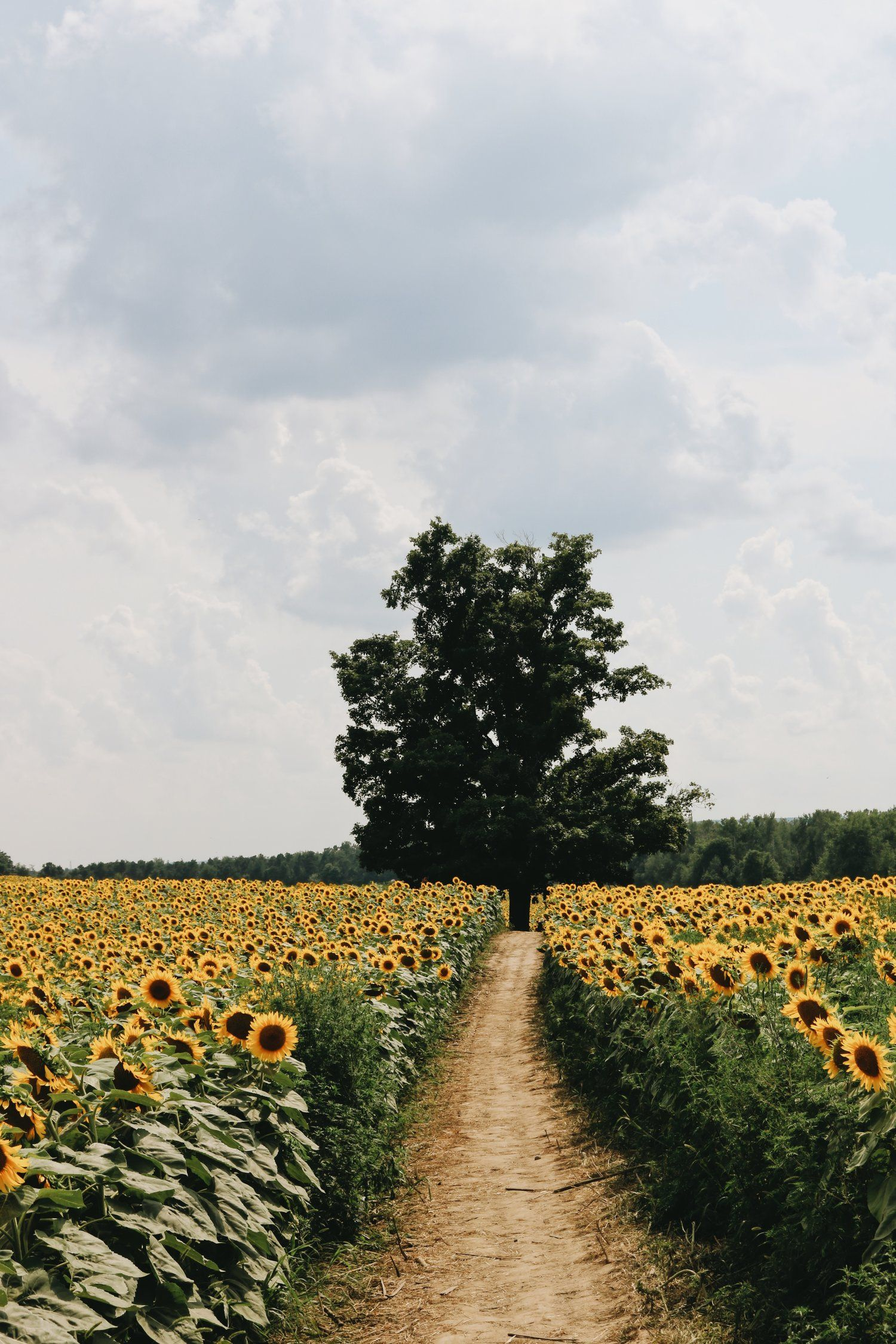 A PurposeFilled Road — FULL COLLECTIVE Sunflower