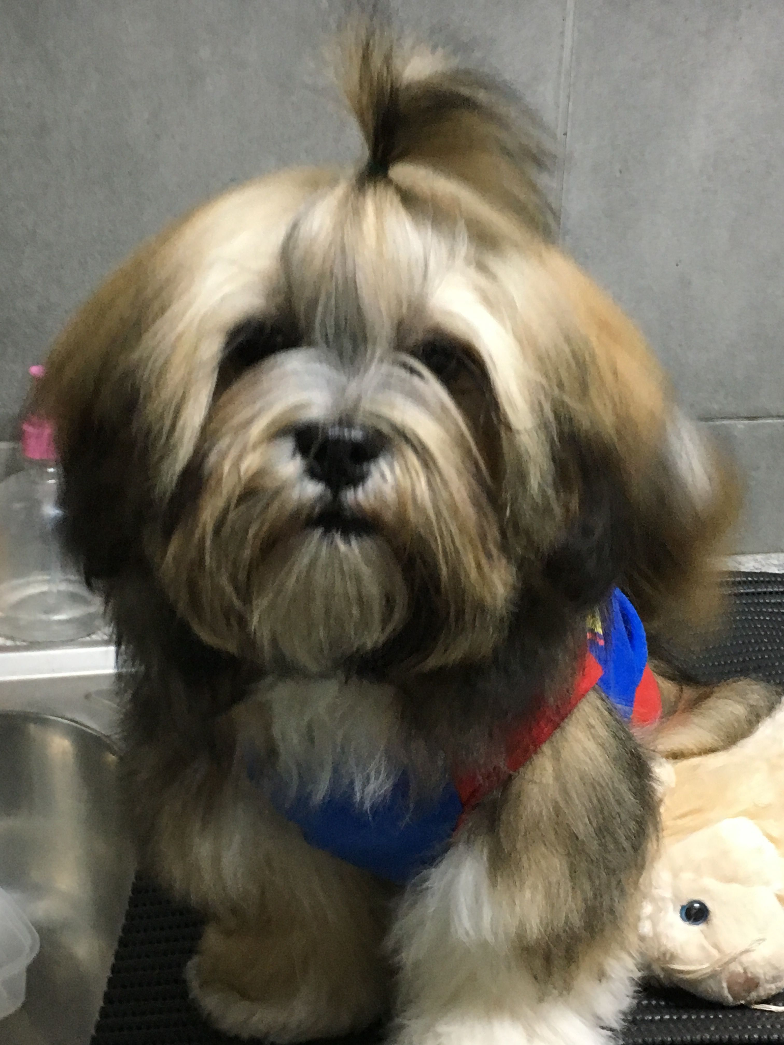 Lhasa Apso Aum S First Top Knot Lhasa Apso Shih Tzu Dog Grooming