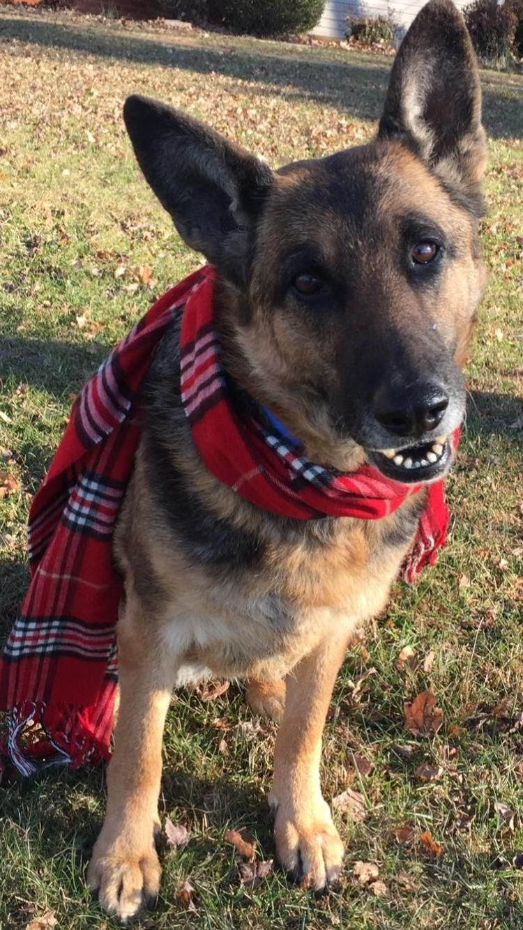 German Shepherd Dog Dog For Adoption In Rustburg Va Adn 749436