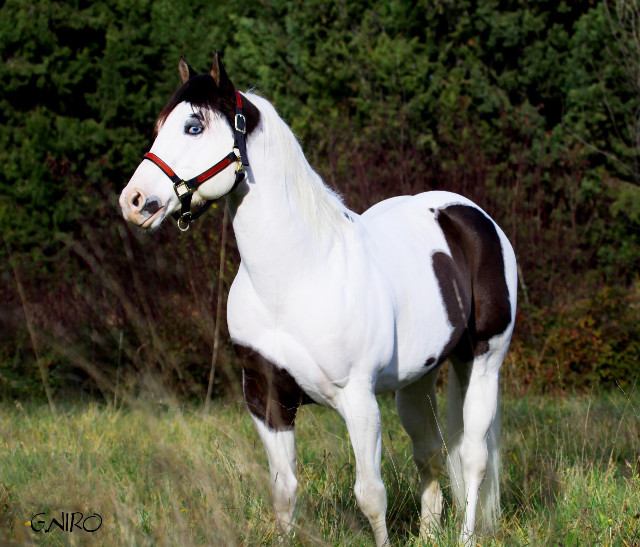 Black And White Paint Horses With Blue Eyes