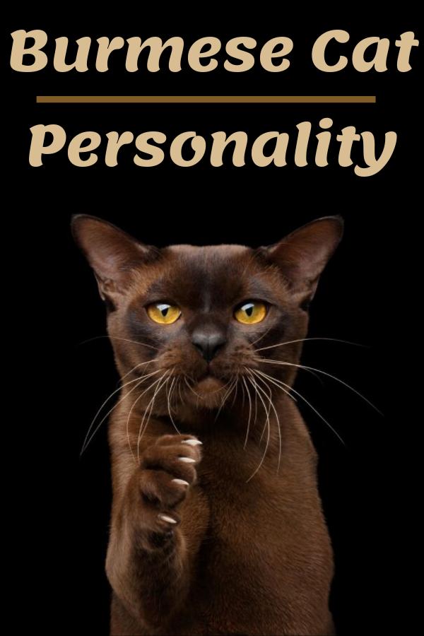 Burmese Cat Personality Burmese Cat Cat Personalities Burmese Kittens