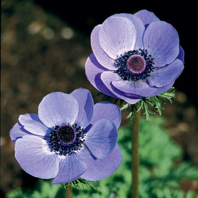 anemone de caen 39 blue poppy 39 hardy in zone 8 canadian. Black Bedroom Furniture Sets. Home Design Ideas