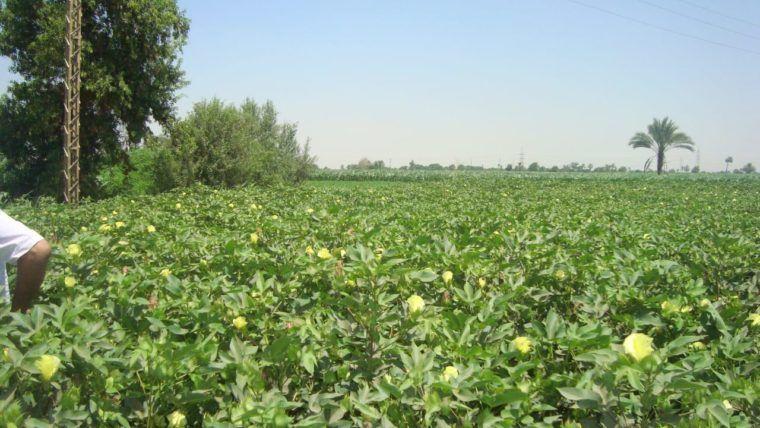 مدير زراعة الشرقية المساحة المقرر زراعتها بالقطن هذا العام تتجاوز 25 ألف فدان Plants