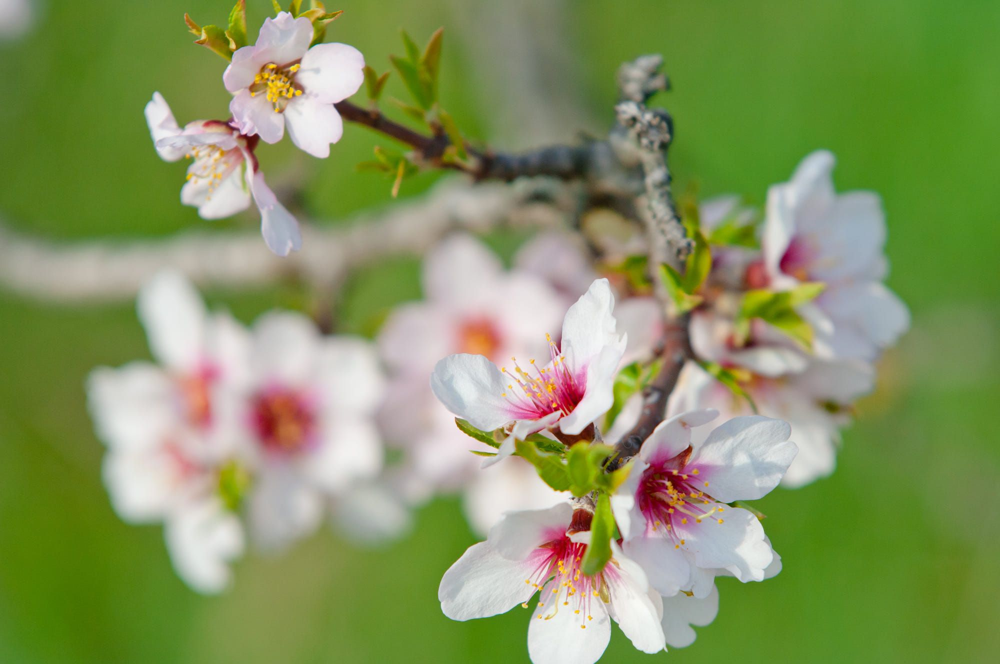 Almond Blossom Full Bloom Blooming Almond Tree In March Almond Blossom Blossom Almond Tree