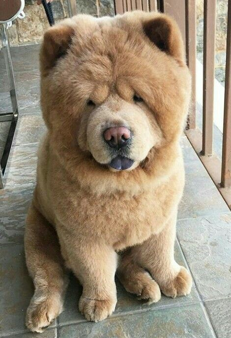 Cute Baby Animals Cute Animals Chow Chow Dogs