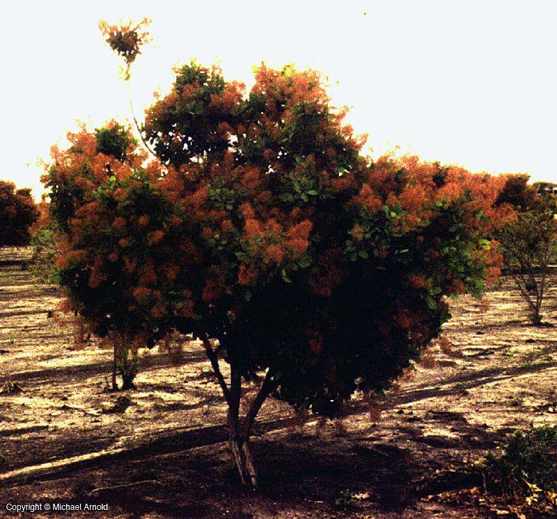American Smokebush or Texas Smokebush 2
