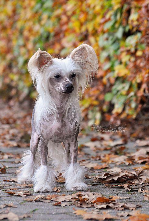 Chinesischer Schopfhund Hunde, Vinylboden holzoptik