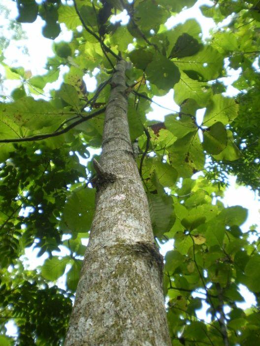 Teak Trees The Teak Tree Tremendous Trees Teak Trees