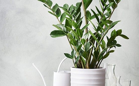 Palmuvehka – joka paikan viherkasvi