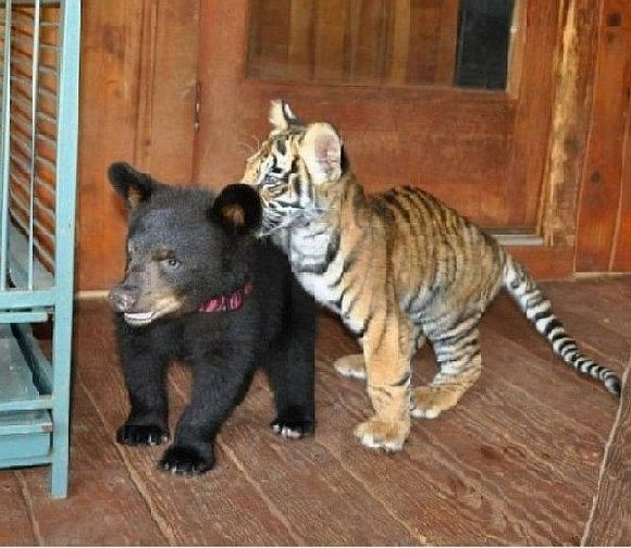 tiger bear playing with each other as cubs