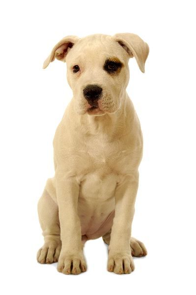 American Bulldog Puppy American Bulldog Puppies American Bulldog Puppies