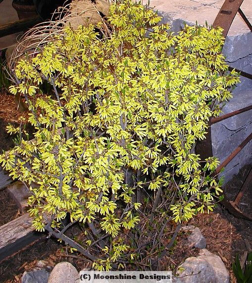 Forsythia arnold dwarf goldenbells borderline forsythia stunning vivid yellow tubular flowers that bloom in early spring and for its naturally compact size which makes it a good groundcover shrub mightylinksfo