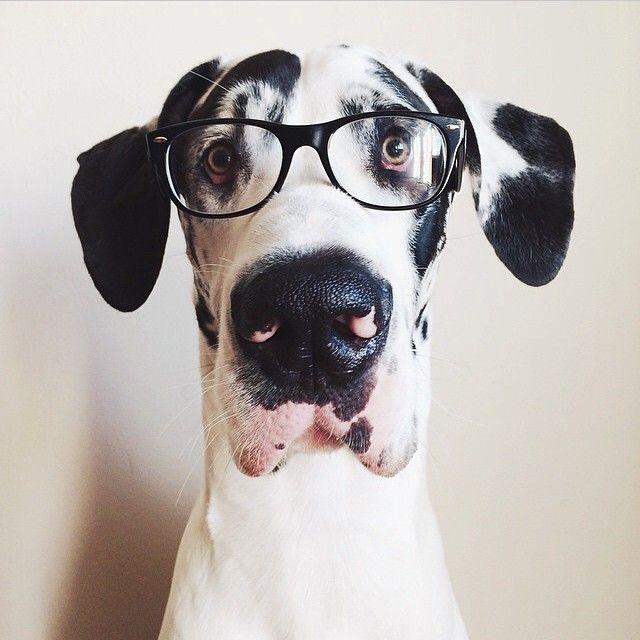 Great Dane Looking Smart Dane Dog Great Dane Dogs Great Dane