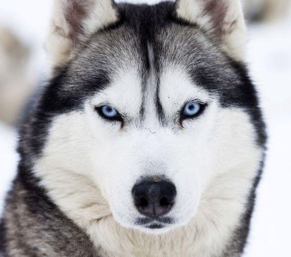 Siberian Husky Breed Jewelry Face Pendant Husky Breeds Siberian
