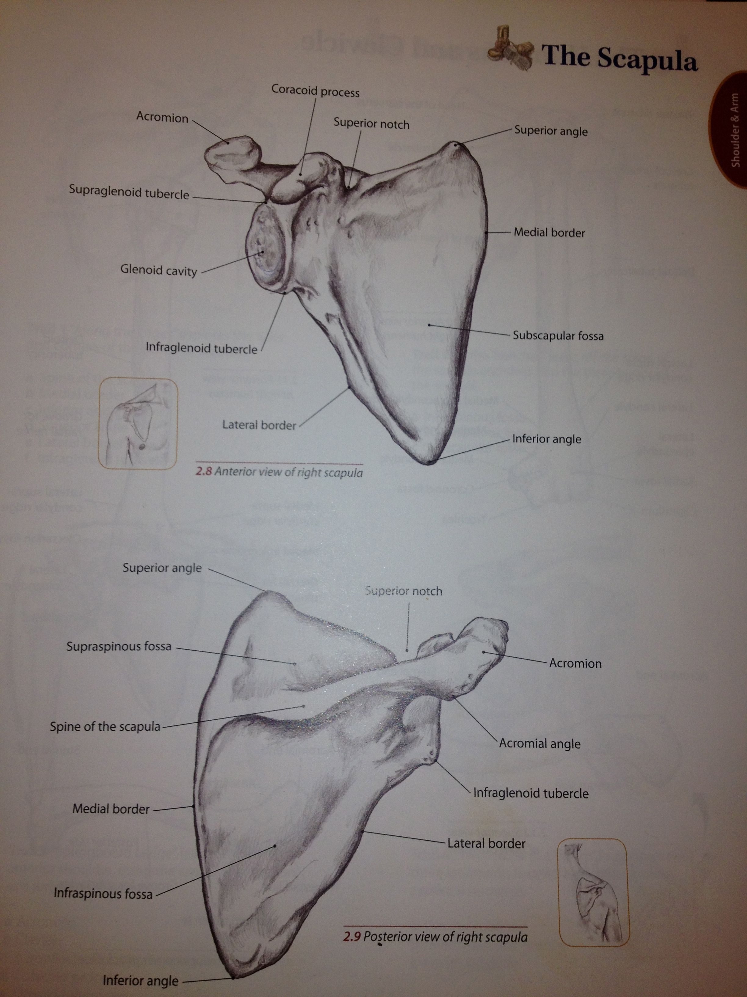 Bony Landmarks Of The Scapula From Trail Guide