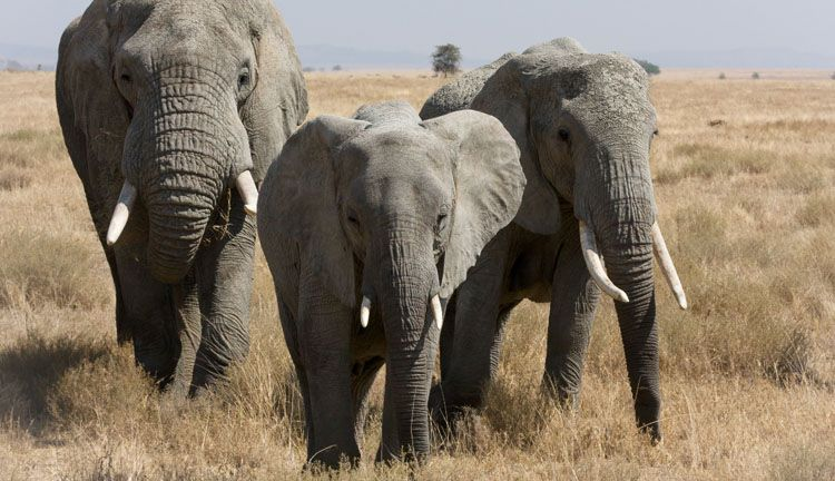 #Largest#living#terrestrial#animal#is#the# elephant ...