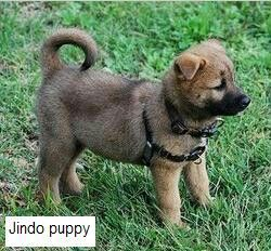 Jindo Puppy Puppies Akita Dogs