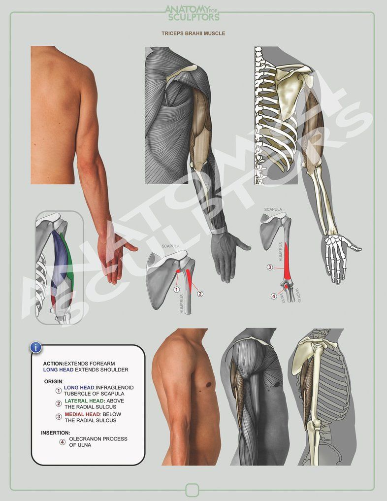TRICEPS BRACHII MUSCLE by anatomy4sculptors on deviantART | Figure ...