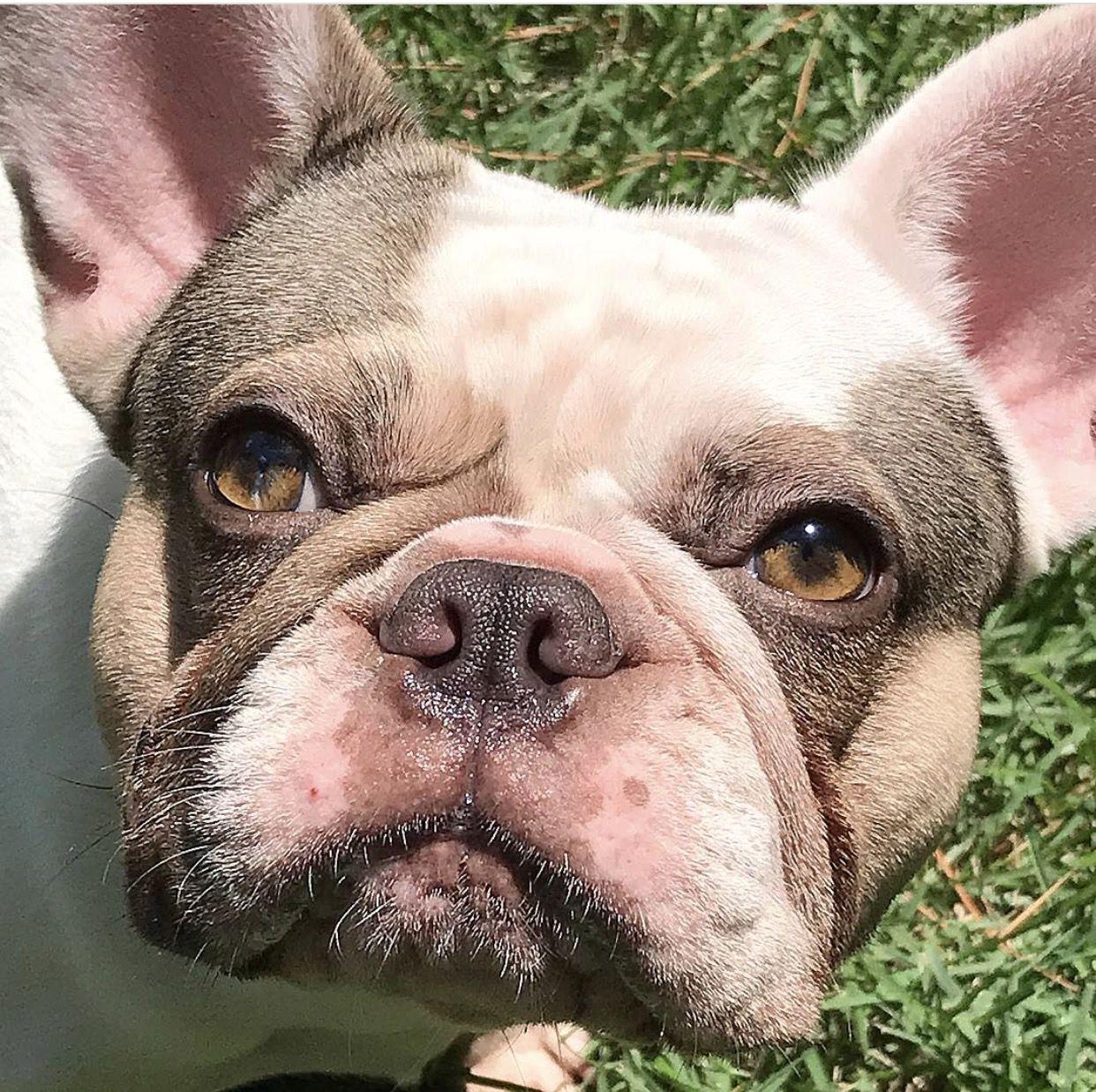 French Bulldogs Transcervical Insemination (TCI) Bulldog