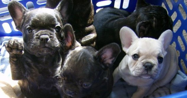 Jeniland French Bulldog Puppies 3 With Images French Bulldog Puppies Bulldog Puppies French Bulldog Breeders