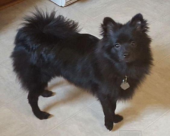 Adopt Romeo On Petfinder Pinterest Dogs Pomeranian And