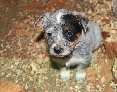 Queensland Heeler Puppies In The Morning Heeler Heeler Puppies Aussie Cattle Dog