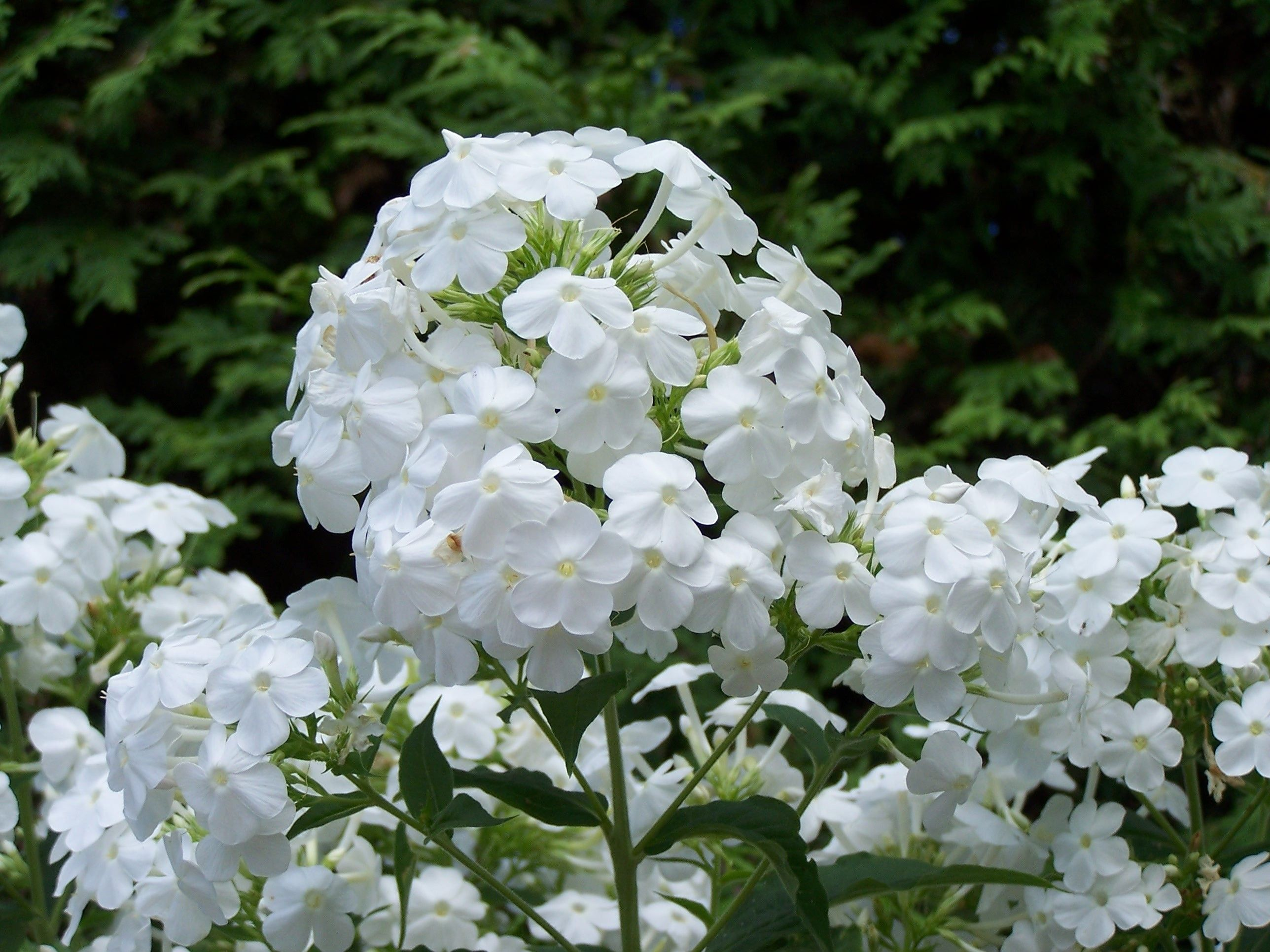 White Phlox White perennial flowers, White gardens