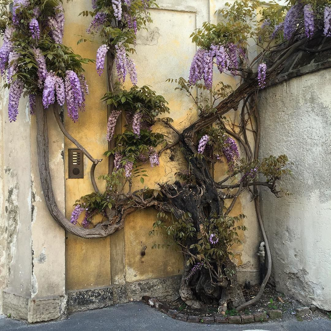 #wisteria in #lambrate   #inbloom #milanodavedere #milanosecrets #bellamilano #milanmonamour #wisteriaflowers #glicine #glicineinfiore #posticiniamilano #aroundmi #picsofmi #milanodaclick #lambrateventura by stellaurenzi