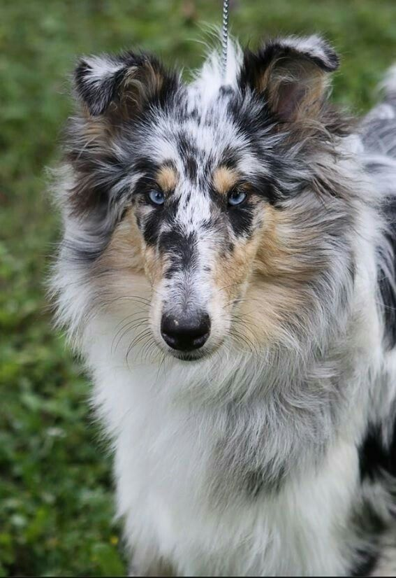 Unusual Markings On A Blue Merle Collie Could Be Have The