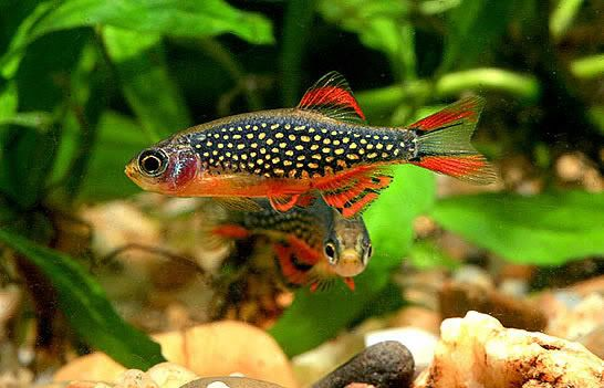 Galaxy Rasbora Freshwater Fish Species Profiles Kaskus The Largest Indonesian Community Aquarium Air Tawar Ikan Tropis Ikan Eksotis