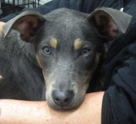 Craigslist Puppies For Sale Nc