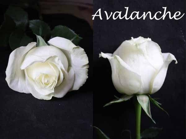 Varieties Of White Roses Rose White Roses Flower Identification