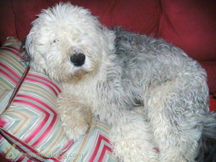 Old English Sheepdog Puppies Classifieds | Images (With ...